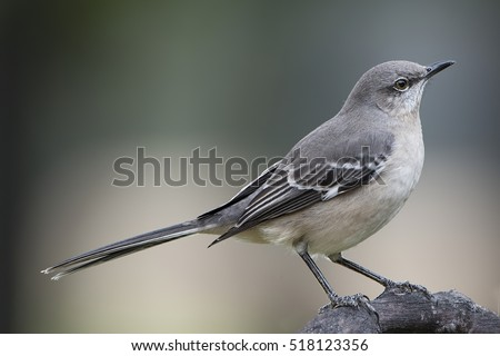 Mockingbird in Louisiana