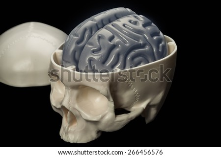 Model of a skull with visible brain, isolated on a black background. - stock photo