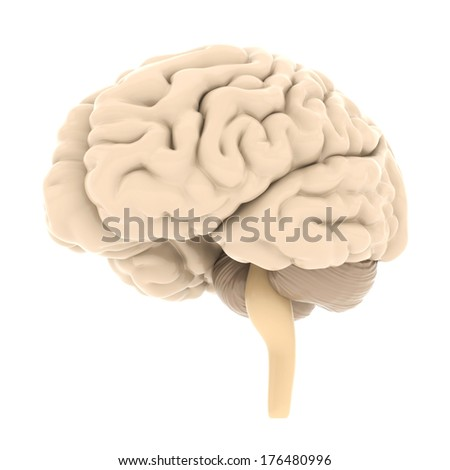 model of the brain isolated on white background - stock photo