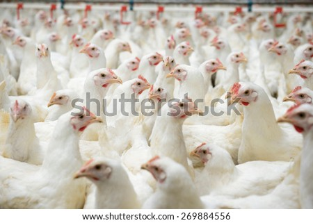 Modern chicken farm, production of white meat - stock photo