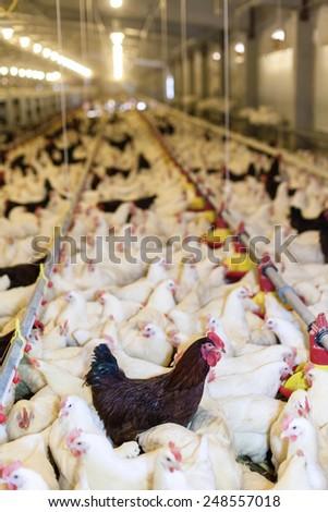 Modern Chicken Farm Production Of White MeatShallow Doff