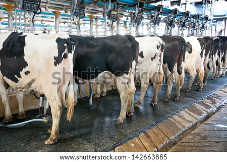 Modern Dairy Works Cow In Milking Process By Mechanized Equipment The