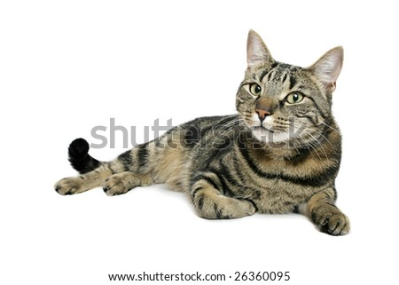 Moggy on white background - stock photo