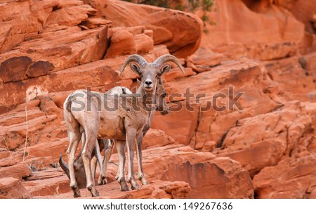 Mojave Desert Big Horn Sheep Ram and Ewes On Red Rock - stock photo