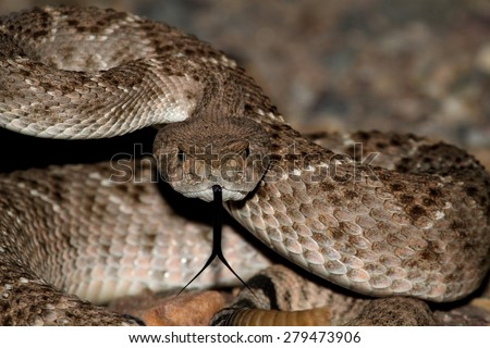 Mojave Rattlesnake (Crotalus scutulatus) coiled to strike. The Mojave Rattlesnake is considered by many to be the most deadly snake in the United States. - stock photo
