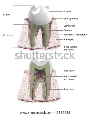 Molar tooth with cross section to show blood supply and nerves -- labeled - stock photo