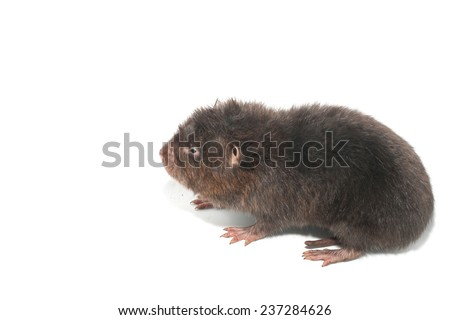 Mole in action isolate on white - stock photo