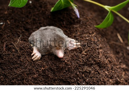 Mole in the soil hole in the garden - stock photo