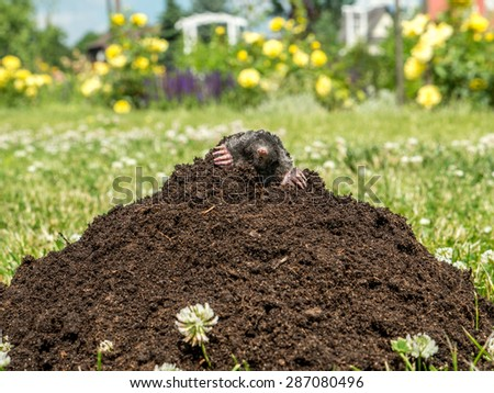 Mole poking out of mole mound on grass - stock photo