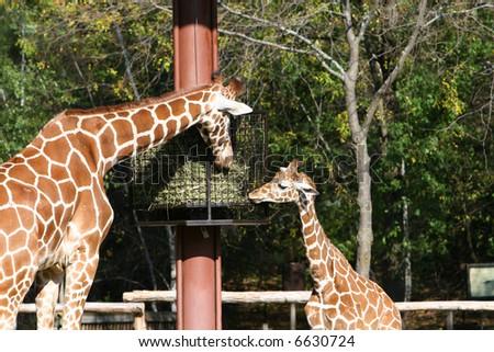 Mom and Baby Giraffe - stock photo