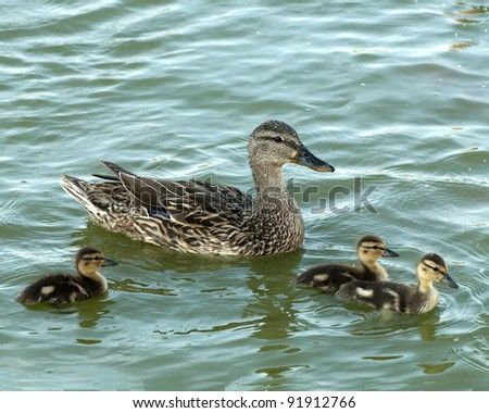 Mom and her ducklings - stock photo