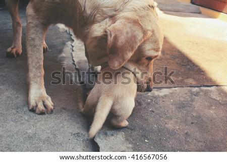 Mom and labrador puppies - stock photo