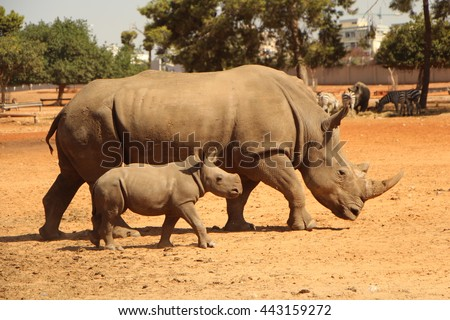 Mom rhino with her baby rhino without horn