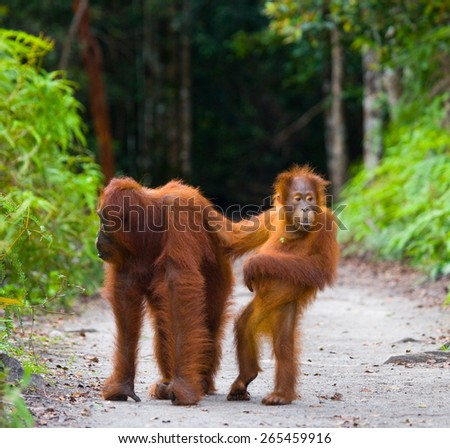 Mom with baby orangutan. Funny frame. Borneo. Indonesia. - stock photo
