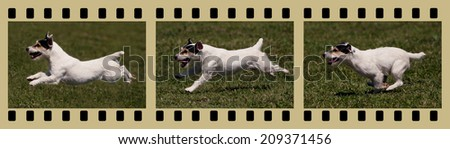 Moments of a funny jack russel as running in the field - in photo filmstrips - stock photo
