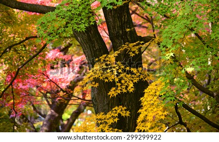 Momiji, Japanese maple in autumn season - stock photo