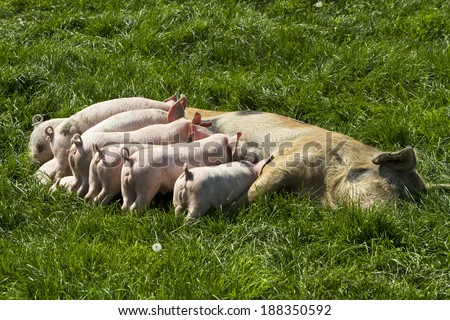 Momma pig feeding baby pigs Momma pig feeding baby pigs  - stock photo