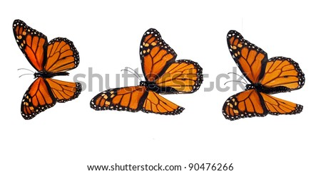 Monarch butterflies, flying positions, upperside. Stacked macro photograph, so it is overall sharp and can be inserted everywhere. - stock photo