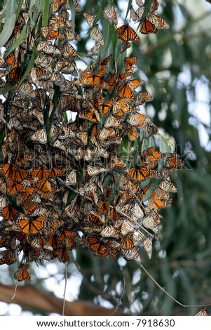 Monarch Butterflies gather in large groups during migration to the central coast in trees that provide a tranquil area for the insect to develop into the next stage of life - stock photo