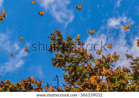 Monarch Butterflies on tree branch in blue sky background, Michoacan, Mexico  - stock photo