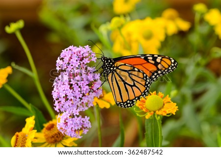 Monarch Butterfly - A monarch butterfly feeding on pink flowers in a Summer garden. - stock photo