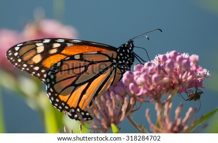 Monarch butterfly (danaus plexippus), backlit by morning sun , perched on pink swamp milkweed flowers (asclepias incarnata) - stock photo