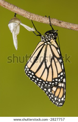 Monarch butterfly draying wings after emerging from its chrysalis - stock photo