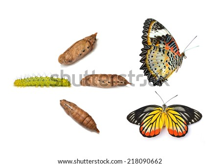 Monarch butterfly emerging from chrysalis, eight stages. Isolated over a white background. - stock photo