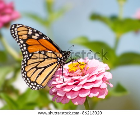 Monarch butterfly feeding flower nectar on a pink Zinnia in summer garden - stock photo