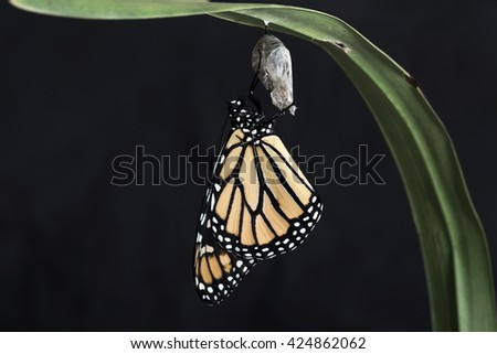 Monarch butterfly hanging from the chrysalis that he hatched from on a rich black background. Horizontal with copy space. - stock photo