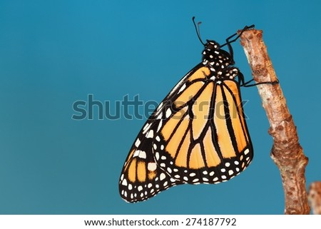 Monarch butterfly hanging on a stick with a blue background