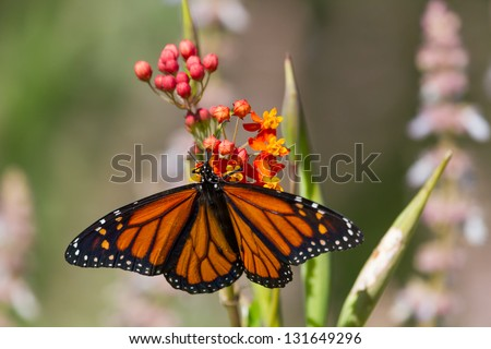 Monarch butterfly on a flower with wings spread - stock photo
