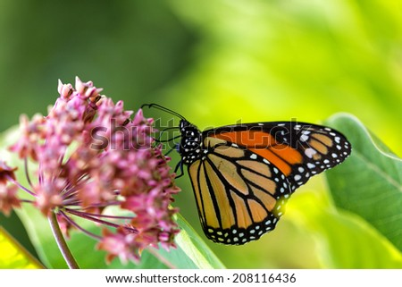 Monarch Butterfly on a milkweed flower with green vegetation in the background - stock photo
