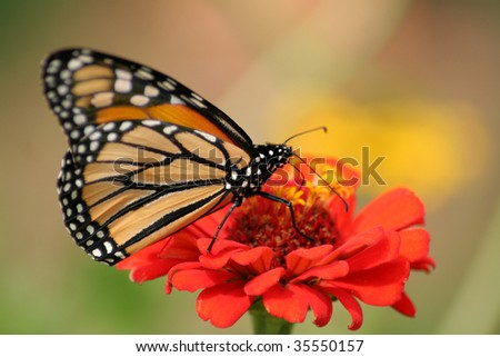 Monarch butterfly on a red zinnia.  Shot with a shallow depth of field and selective focus. - stock photo