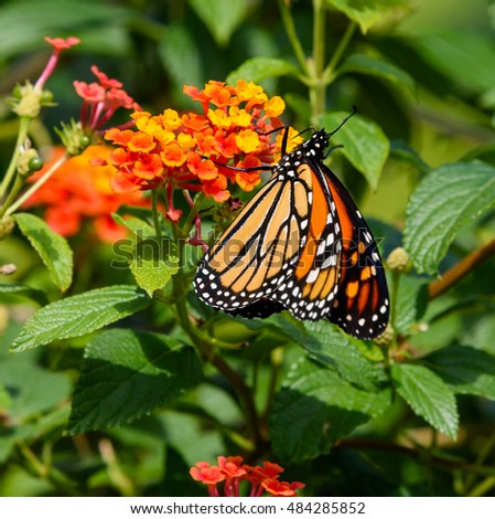 Monarch butterfly on Lantana on Green Background