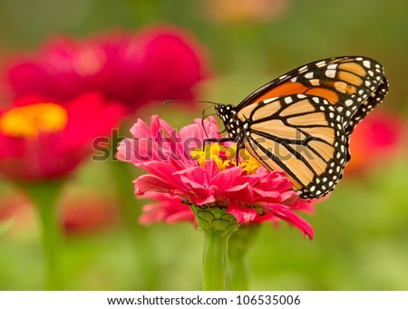 Monarch Butterfly on Pink Flowers - stock photo