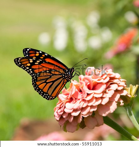 Monarch butterfly on pink Zinnia - stock photo