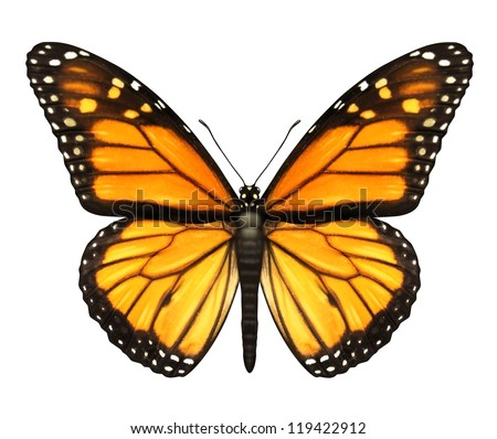 Monarch Butterfly with open wings in a top view as a flying migratory insect butterflies that represents summer and the beauty of nature. - stock photo