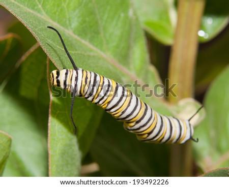 Monarch caterpillar feeding on a Milkweed leaf - stock photo