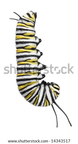 Monarch caterpillar hanging in preparation to cocoon - stock photo