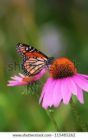 Monarch on Coneflower - stock photo