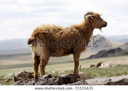 Mongolian goat - stock photo