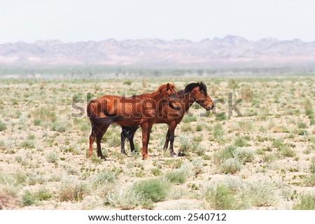 Mongolian horses. - stock photo