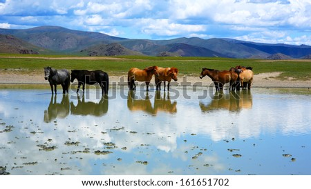 mongolian horses in vast grassland standing in water, mongolia  - stock photo