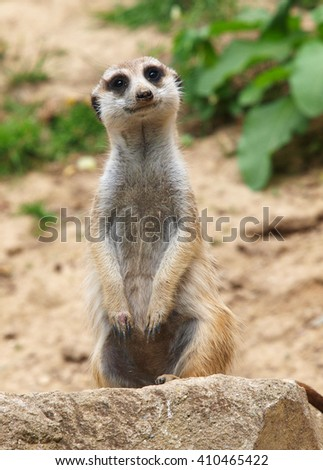 Mongoose - stock photo