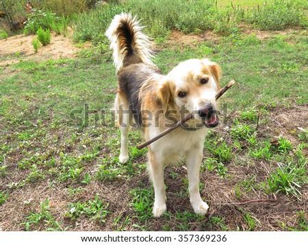 Mongrel dog (half golden retriever half german shepherd)        - stock photo