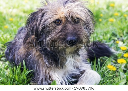 mongrel on the lawn - stock photo