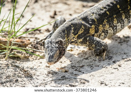 Monitor Lizard in the Moremi Game Reserve (Okavango River Delta), National Park, Botswana