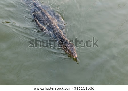 Monitor lizard swimming in the river looking for fish.Show it tongue. - stock photo