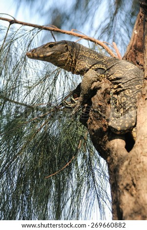 Monitor lizard ( Varanus salvator ) in Lumipini park, Bangkok, Thailand - stock photo
